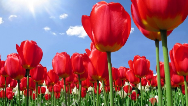 kartinki24_tulips_7416